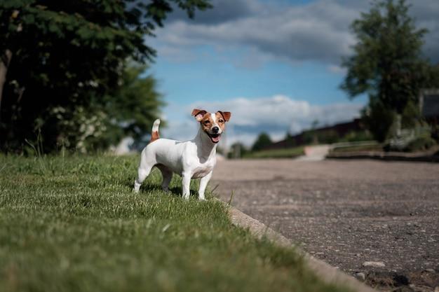 Glücklicher hund, jack russell terrier