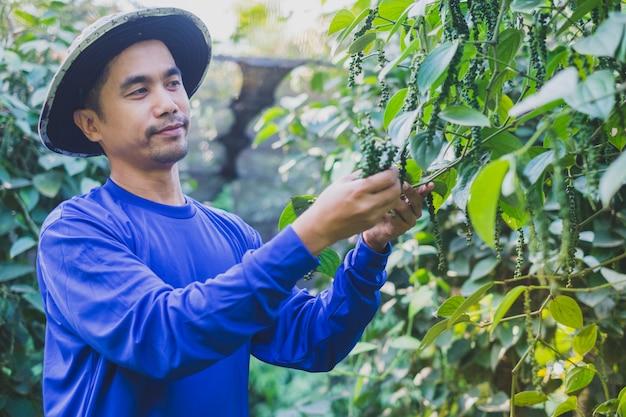 Glücklicher junger asien-landwirt harvest piper nigrum-pfeffer im bauernhof