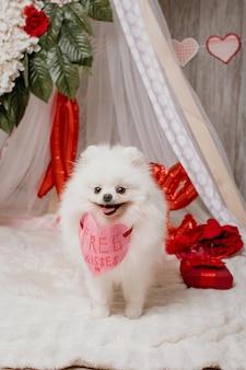 Glücklicher niedlicher flauschiger weißer hund (pommerscher) mit freiem kusspapierherz