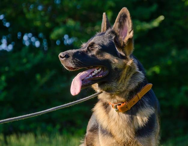 Glücklicher schäferhund im sonnenlicht (mit geschlossenen augen)