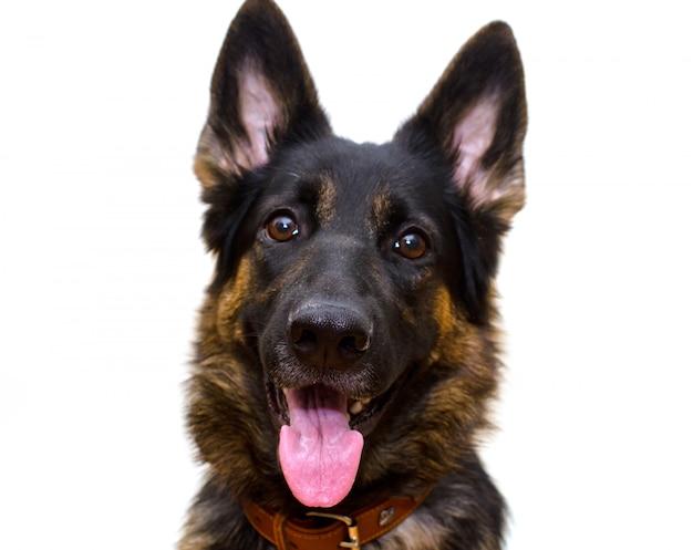 Glücklicher schäferhund lokalisiert