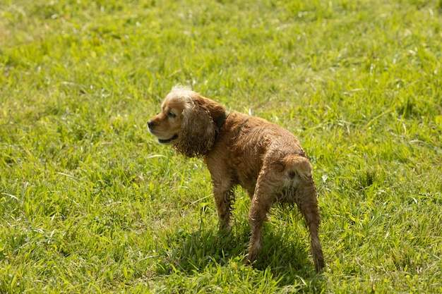 Glücklicher und aktiver cockerspaniel, der im park geht.