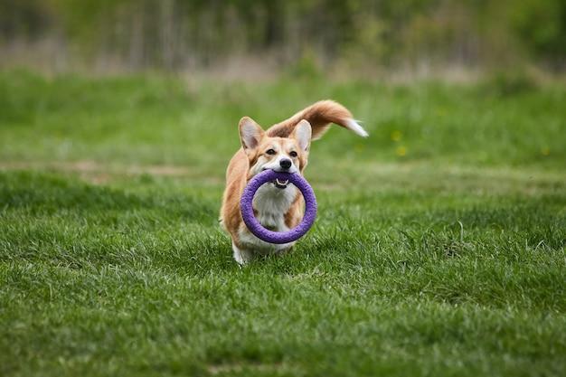 Glücklicher walisischer corgi pembroke-hund, der im frühlingspark mit abzieher spielt