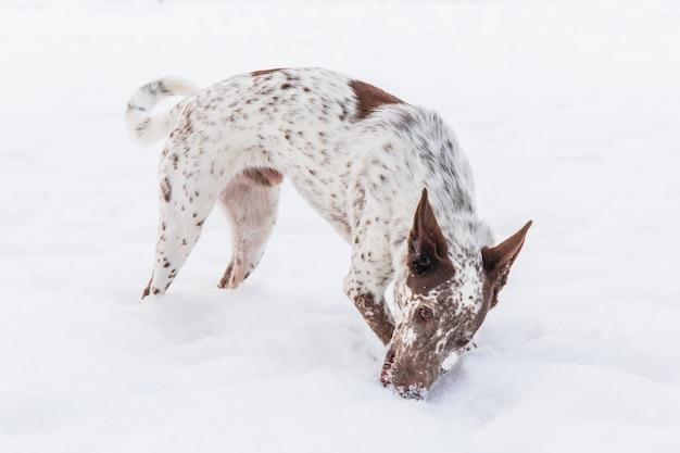 Glücklicher weiß-brauner hund im kragen, der auf schneebedecktem feld im winter spielt
