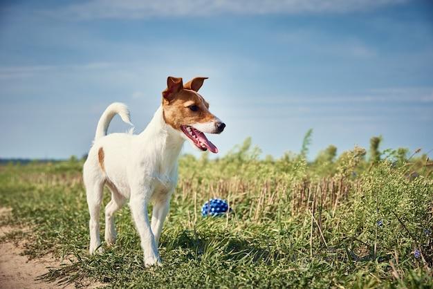 Glückliches hundespiel mit ball im feld am sommertag. jack russel terrier hund spielt im freien