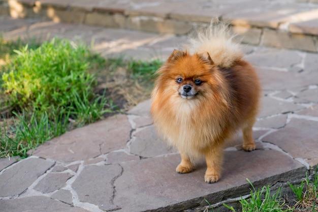 Glückliches lächeln des pomeranian-hundenetten haustieres, das in der natur spielt