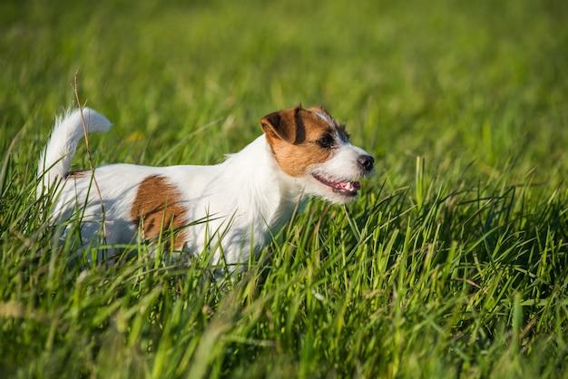 Glückliches lustiges jack russell zahnrad, das auf dem grünen gras spielt, läuft und springt