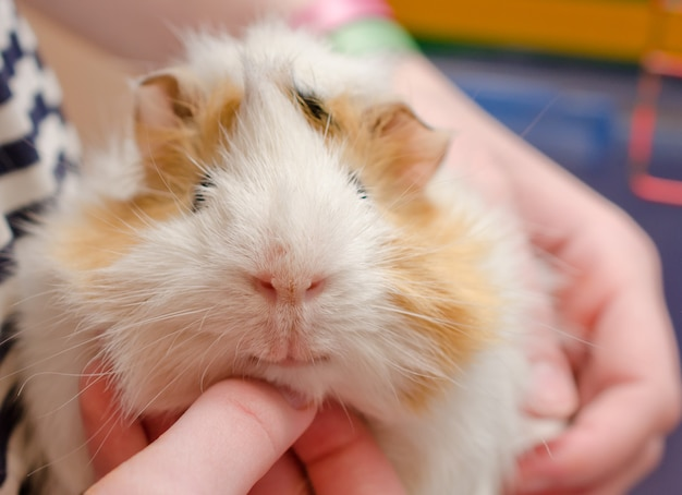 Glückliches meerschweinchen (mit einer menschlichen hand, die das meerschweinchen unter seinem kinn verkratzt), selektiver fokus auf dem meerschweinchenmund und -nase