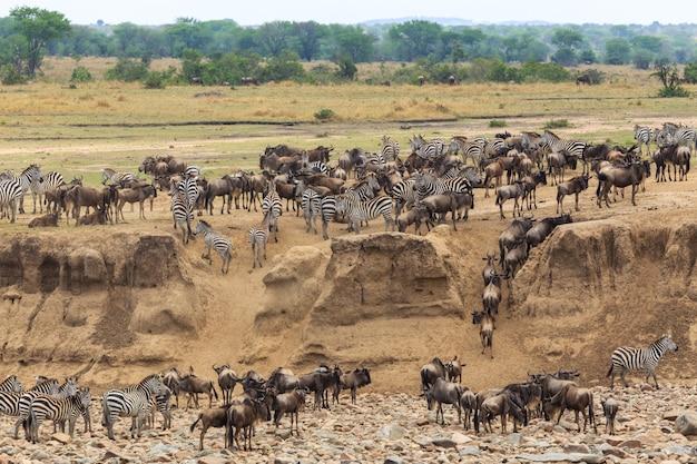Gnu- und zebraswanderung im serengeti-nationalpark