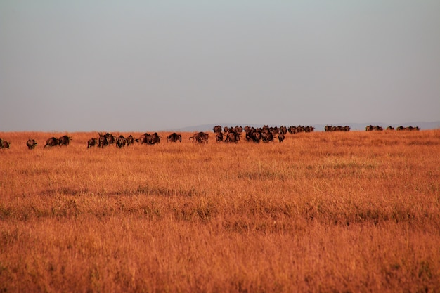 Gnus auf safari in kenia und tansania, afrika