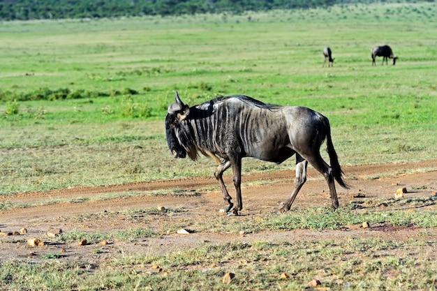 Gnus im masai mara nationalpark. kenia