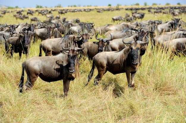 Gnus im nationalpark von kenia