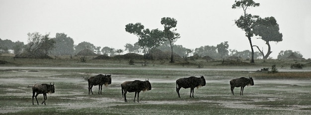 Gnus im regen, serengeti-nationalpark, serengeti, tansania, afrika