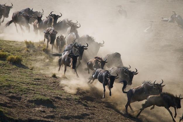 Gnus rennen durch die savanne. große migration. kenia. tansania. masai mara nationalpark. bewegungseffekt. Premium Fotos