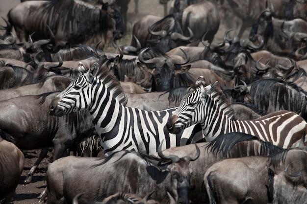 Gnus und zebras im serengeti-nationalpark