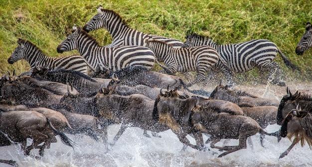 Gnus und zebras laufen über einen kleinen fluss.