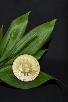 Gold-bitcoin-münze und grüne blätter von pflanzen auf schwarzem hintergrund. nahaufnahme der kryptowährung, die auf laub liegt. das konzept der umweltverschmutzung in der modernen welt