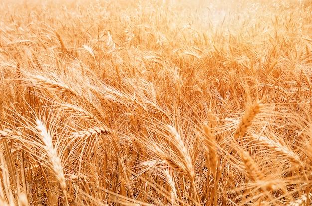 Gold weizenfeld. schöne natur sonnenuntergang landschaft.