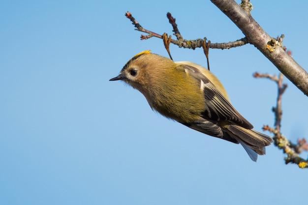 Goldcrest (regulus regulus) wildvogel in einem natürlichen lebensraum.