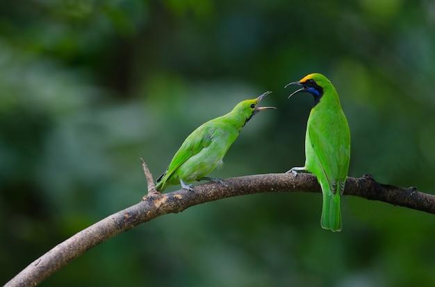 Golden-fronted leafbird auf der niederlassung