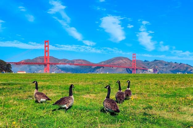 Golden gate bridge mit gänsen auf dem gras