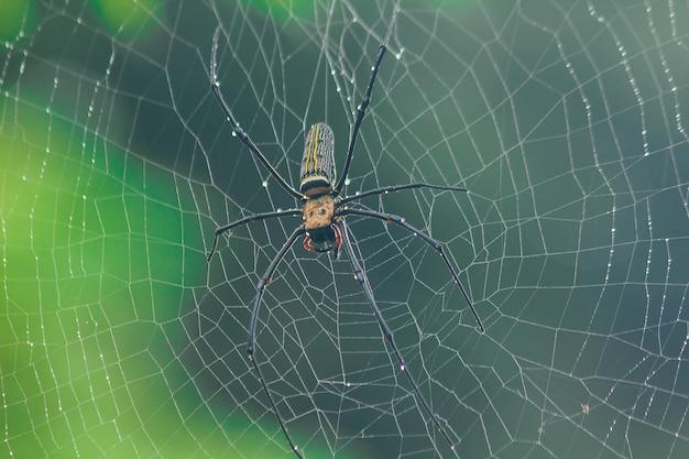 Golden orb-weaver spider stricken sie große fasern entlang der vertikalen linie zwischen den bäumen. das weibchen ist 40-50 mm groß