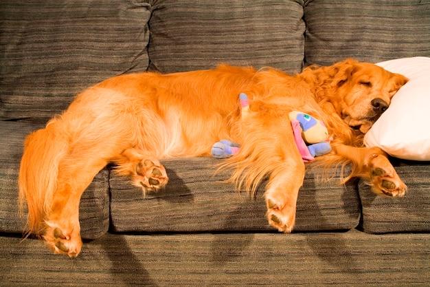Golden retriever auf der couch ausgestreckt