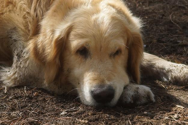 Golden retriever der großen hunderasse, die auf dem boden liegend ruht.