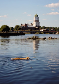 Golden retriever der hunderasse schwimmt im see auf der anderen seite des alten turms der festung.