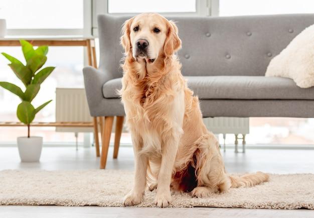 Golden retriever hund, der auf dem boden zu hause im skandinavischen innenraum sitzt und kamera betrachtet