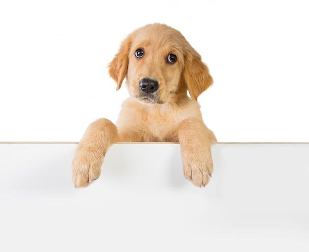 Golden retriever hund, der auf einem weißen brett hält