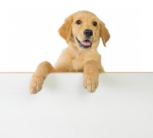 Golden retriever hund, der auf einem weißen leeren brett hält