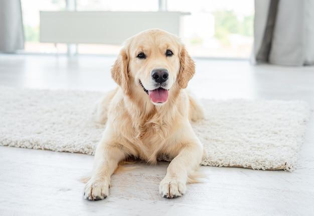 Golden retriever hund, der auf hellem boden drinnen liegt
