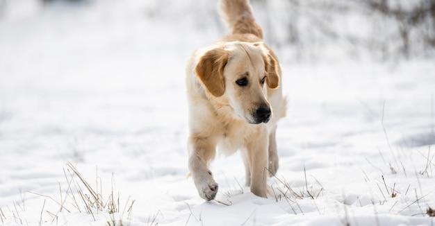 Golden retriever hund, der im winter spazieren geht und im winter schnee niedliches hündchen im freien betrachtet