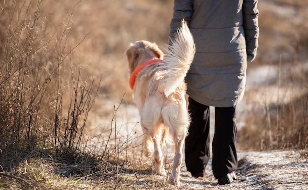 Golden retriever hund, der im zeitigen frühjahr mit der besitzerin im natursüßen hündchen-haustierlabor spazieren geht ...
