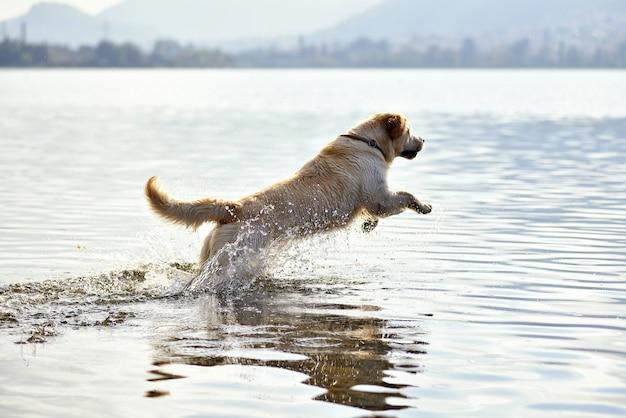 Golden retriever-hund, der in wasser läuft