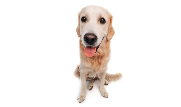 Golden retriever hund isoliert auf weißem hintergrund schöne hündchen labrador sitzend mit tonque...
