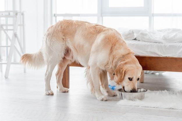 Golden retriever hund isst morgens aus metallschüssel im sonnigen schlafzimmer. fütterung von haustierhündchen im raum mit sonnenlicht.