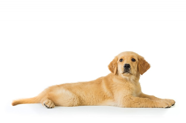 Golden retriever hund legen