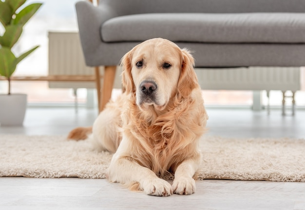 Golden retriever hund liegt auf dem boden im sonnigen zimmer zu hause. porträt des süßen hündchens zu hause