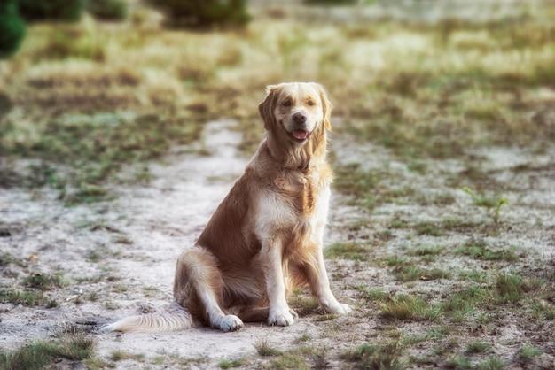 Golden retriever hund liegt im gras