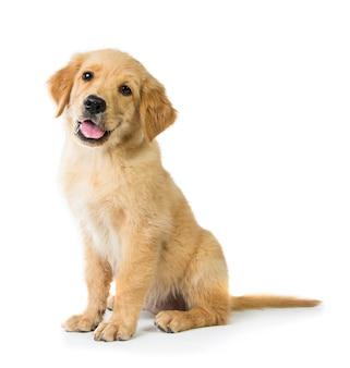 Golden retriever hund sitzt auf dem boden, isoliert