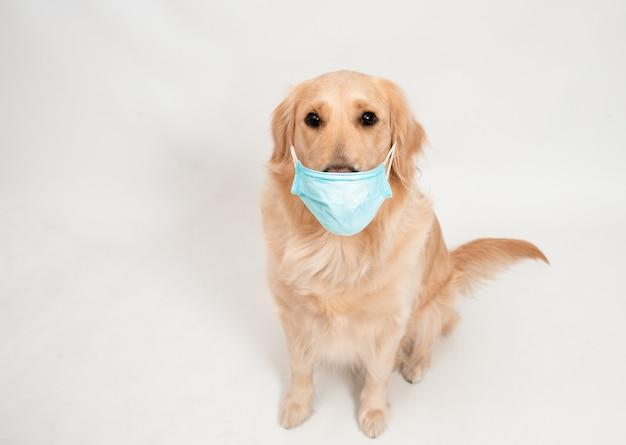 Golden retriever hund trägt medizinische maske zum schutz vor viren