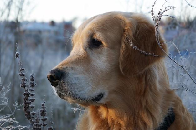 Golden retriever schaut zur seite, sein kopf ist im profil gedreht