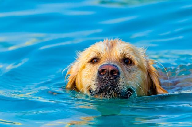 Golden retriever schwimmen