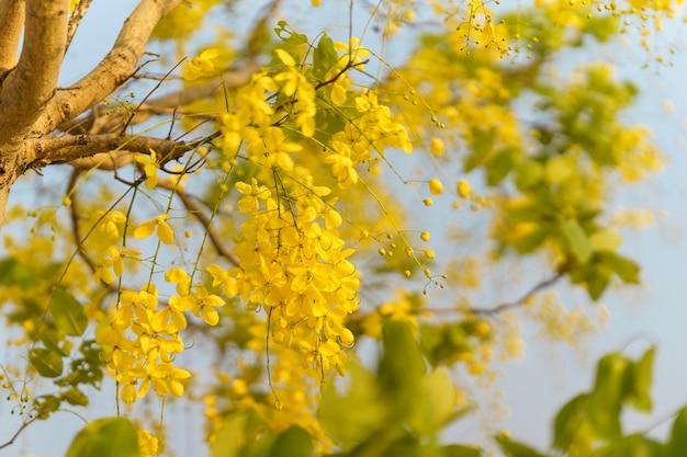 Golden shower (cassia fistula), die gelbe blume thailands.