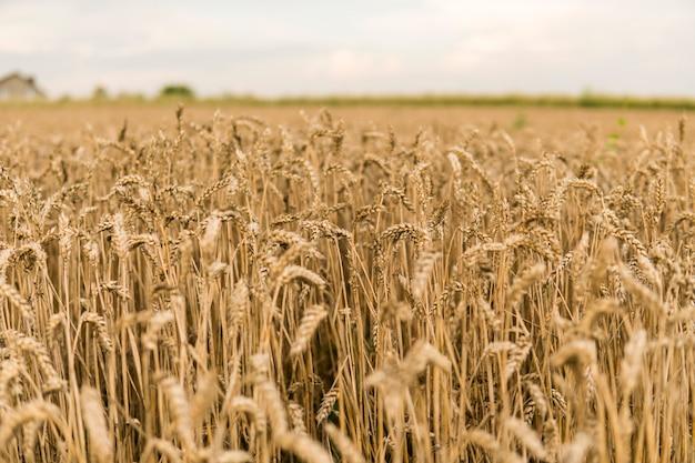 Goldene ähren auf dem feld gegen bewölkten himmel. landwirtschaft. anbau von weizen. reifende ohren weizen. landwirtschaft. natürliches produkt.