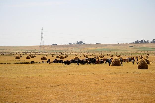 Goldene äthiopische landschaft, tefffelder und baum