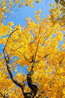 Goldene blätter von ahorn und blauem himmel