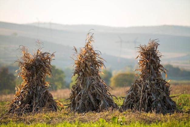 Goldene garben der trockenen maisstiele auf dem leeren grasartigen gebiet nach ernte auf nebeligen hügeln und wolkenlos